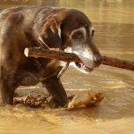 Chocolate Labrador with Stick