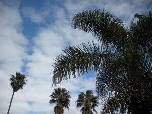 Palm Trees Venice California
