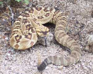 rattlesnake san diego hills