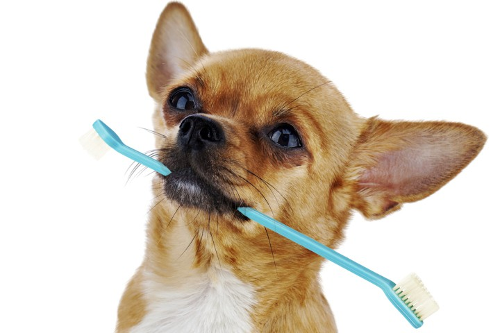 cleaning chihuahua teeth