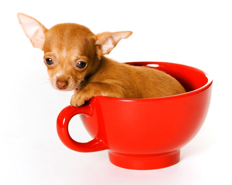 What Foods Are Good For Chihuahuas