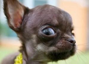 chihuahua-eyes