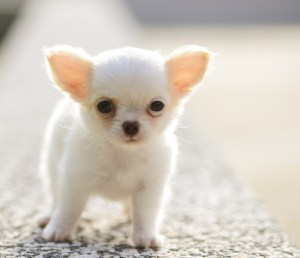 chihuahua food puppy