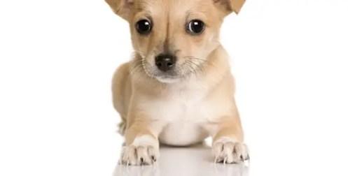 Chihuahua nails