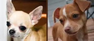 Chihuahua ears