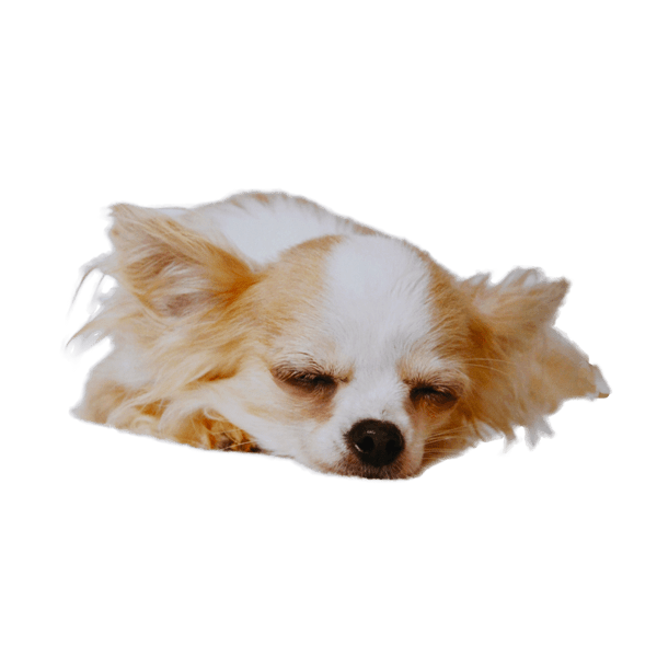 how often should i bathe my chihuahua chihuahua temperament personality what is a chihuahua like 9751