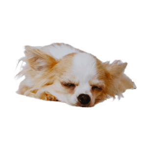 Chihuahua temperament character