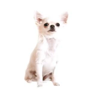 Chihuahua diseases