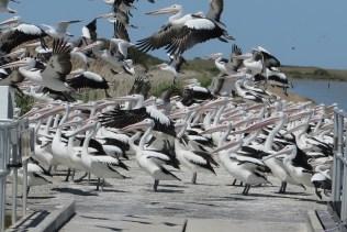 pelican-point