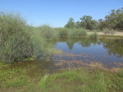 yarra-creek06-lignum