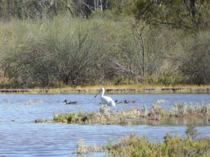 yellow-billed spoonbill and grey teal feeding in floodplain pool