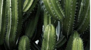 cacti
