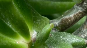 mealybug on succulent