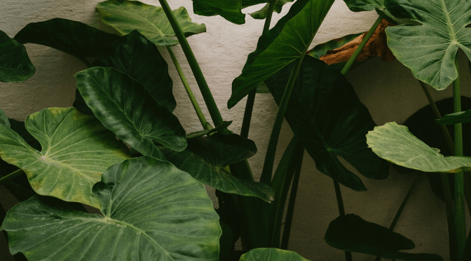 photo of an alocasia