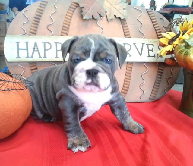 pricing - planet merle english bulldogs - home of the fully