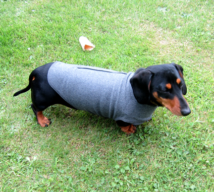 Miniature Dachshund wearing a Thundershirt