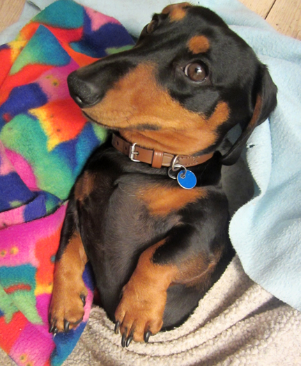 minature black and tan dachsund in bed