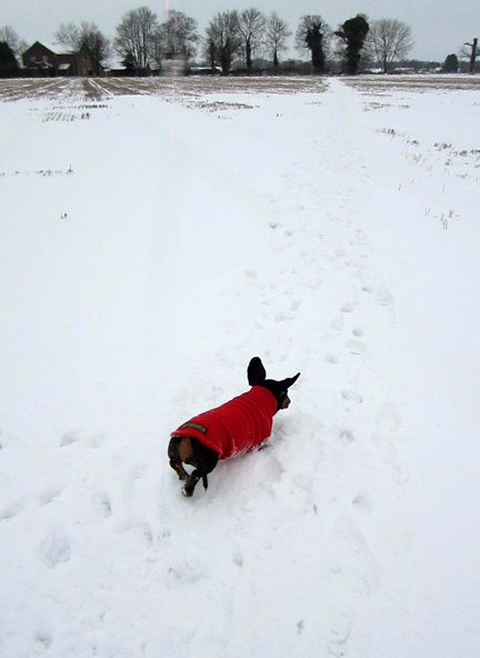 dachshund running in snow
