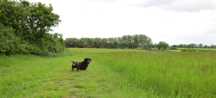 Norfolk field miniature dachshund