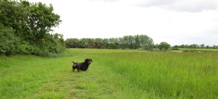 Norfolk field miniature dachshund