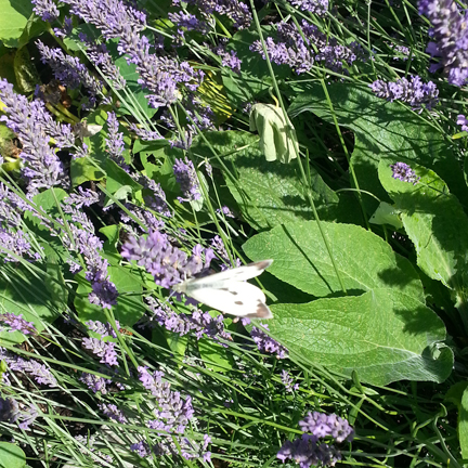 cabbage white in the lavender
