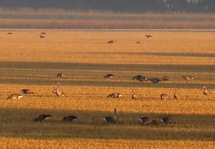 greylag geese grazing