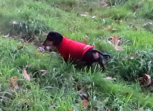 Higgins Miniature dachshund