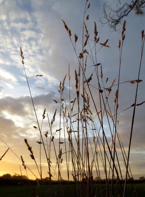 grasses and Norfolk Sky