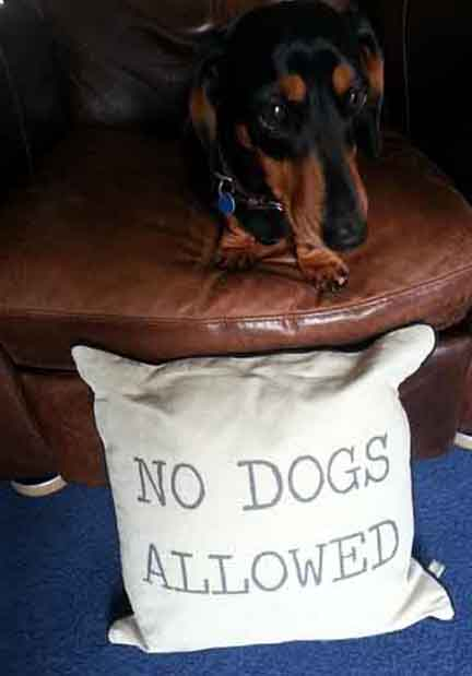 daschund fights cushion and wins