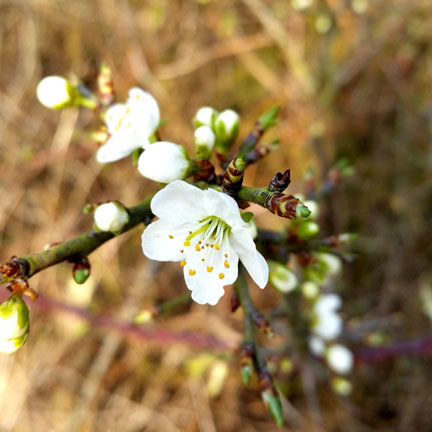 Blackthorn blossom for Happy Friday