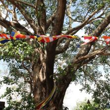 Bodhi tree - the holiest of shrubbery for Buddhists
