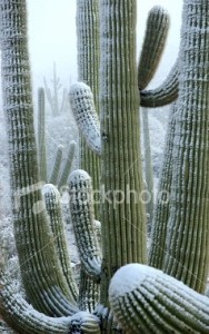 Snow on Saguaro