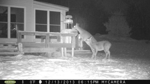 Deer standing on hind legs to eat bird seed