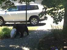 A young bear stealing a resident's trash in Kingston in June.