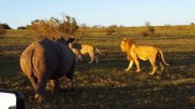 Rhino interrupts lion couple