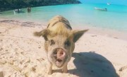 Model Gets Bitten by Pig in Bahamas