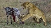 Amazing Lion Attack Newborn Zebra In Africa.