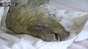 Severed Head Of A 40,000yo Giant Pleistocene Wolf Discovered In Russia!