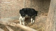 Calf born with extra leg growing on its back in northern China