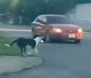 It Wasn't His Time Yet: Dog Cheats Death While Running Across The Street!