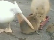 Capybara Didn't Give AF… Just Vibing As A Pelican Tried To Eat Him!