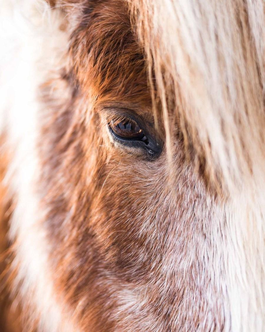Icelandtic Horse