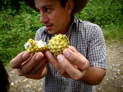 Travel Photo: Honduras - Carlos Handling Anona Fruit From Finca El Cisne