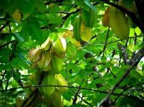 Travel Photo: Honduras - Averoa (Finca El Cisne y Scientific Name) aka Carambola aka Starfruit
