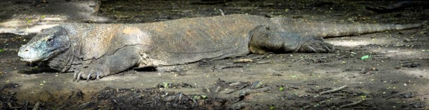 indonesia-6-rinca-and-komodo-63