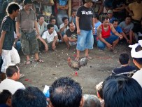 Winning Rooster From A Balinese Cockfight in Nusa Dua