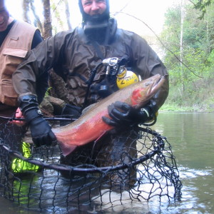 steelhead caught for breeding at hatchery