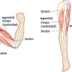Full Human Leg Tendons Diagram Basic Virus Agonist Vs Antagonist « Plank Pilates