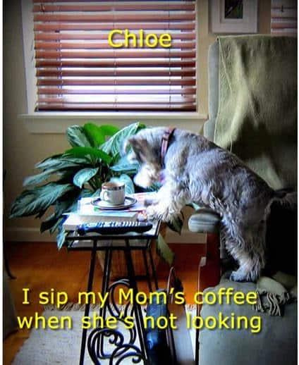 Dog drinks mom's coffee.