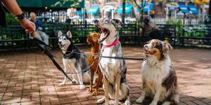 four dogs on leashes held by a dog walker